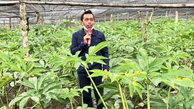Wakil Ketua DPRD Sulsel dari Partai NasDem, Syaharuddin Alrif di Kebun Porang miliknya.
