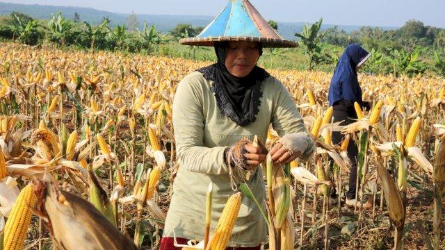 Petani jagung sedang memanen. Kementan RI pastikan harga jagung stabil. (Foto: Kementan RI).