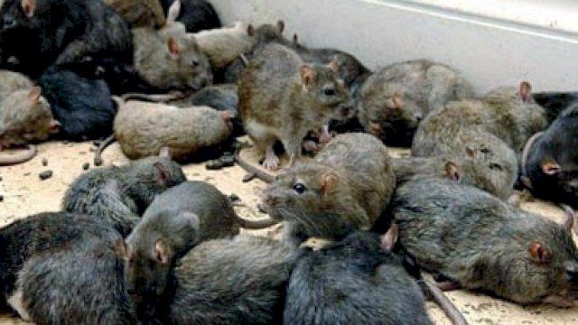 Diserang Wabah Tikus, Australia Mengalami Kekacauan