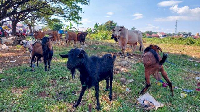 Ratusan Hewan Kurban di Makassar Sulsel Ditemukan Tak Layak Potong