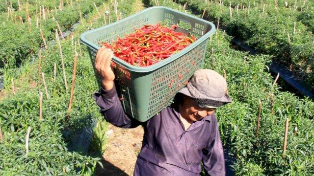 Produksi Melimpah, Pasar Nasional Wajib Serap Produksi Cabai Petani