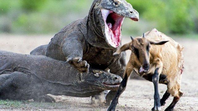 Gawat! Komodo Terancam Punah