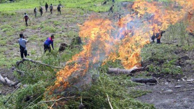 Polisi Bakar Ladang Ganja Seluas 1,5 Hektare di Hutan Lindung